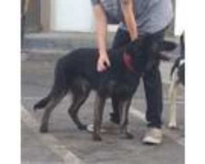 Adopt Maple a Black Dutch Shepherd / Mixed Breed (Large) / Mixed dog in Colorado