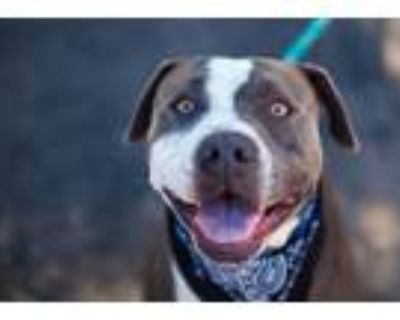 Adopt Roy a American Staffordshire Terrier