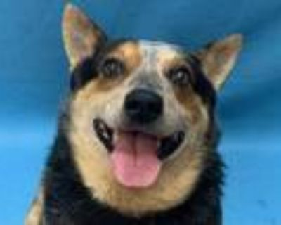 Adopt Clyde a Black Australian Cattle Dog / Mixed dog in Coon Rapids