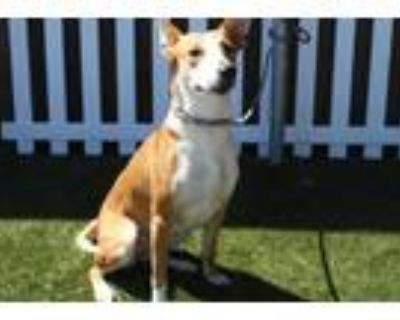 Adopt a Brown/Chocolate - with White Basenji / Mixed dog in Modesto