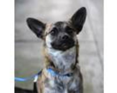 Adopt Luna a Jack Russell Terrier / Terrier (Unknown Type