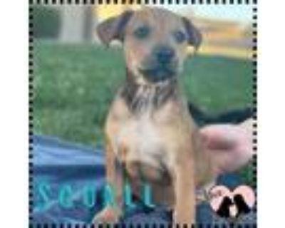 Adopt Squall a Tan/Yellow/Fawn Boxer / Mixed dog in Chandler, AZ (31637198)