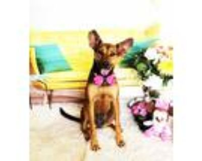 Adopt Christy a Brown/Chocolate Shepherd (Unknown Type) / Mixed dog in Castro