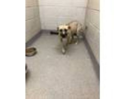 Adopt 47922997 a Tan/Yellow/Fawn American Pit Bull Terrier / Mixed dog in