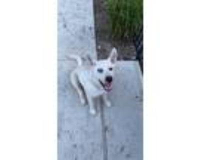 Adopt Archie a White Husky / Labrador Retriever / Mixed dog in Grapevine