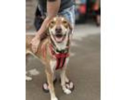 Adopt Jalapeno a Tan/Yellow/Fawn - with White Husky / Beagle / Mixed dog in