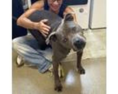 Adopt Sparka a American Bully, American Staffordshire Terrier