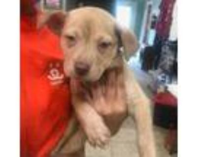 Adopt Gertrude a Tan/Yellow/Fawn Husky / Terrier (Unknown Type
