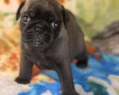 Silver Pug Puppies