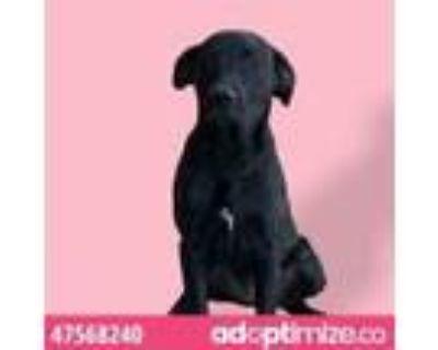 Adopt 47568240 a Black Labrador Retriever / Mixed dog in El Paso, TX (31526041)