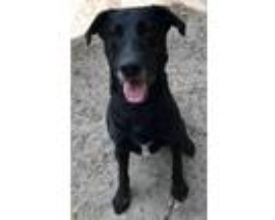 Adopt Leo a Labrador Retriever, Great Dane