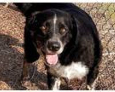 Adopt CHEWY a Black Labrador Retriever / Mixed dog in Albuquerque, NM (31062577)