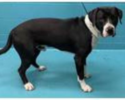 Adopt BENNY a Black - with White Mastiff / Mixed dog in San Antonio