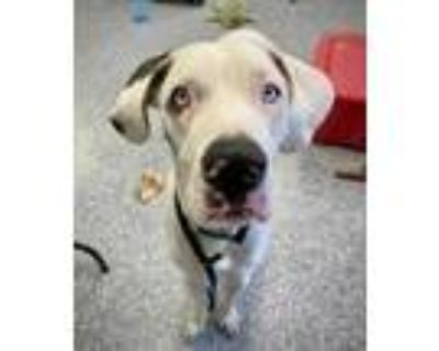 Adopt Blue a White Great Dane / Mixed dog in Indianapolis, IN (31971726)