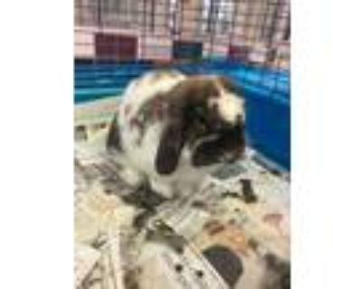 Adopt MILO a White Lop-Eared / Lop-Eared / Mixed rabbit in Houston