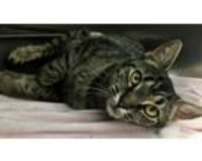 Adopt Pebbles a Gray, Blue or Silver Tabby Domestic Shorthair (short coat) cat