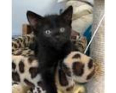 Adopt Percy a All Black Domestic Shorthair / Mixed cat in Temecula
