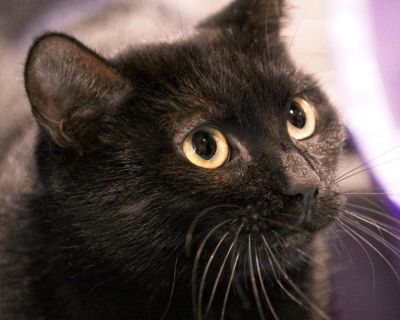 Vicky - Domestic Shorthair - Adult Female