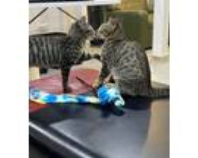 Adopt Tiger and Picklewick a Tabby, Domestic Short Hair