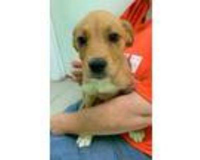 Adopt Shoe Box a Tan/Yellow/Fawn Boxer / Husky / Mixed dog in Benton