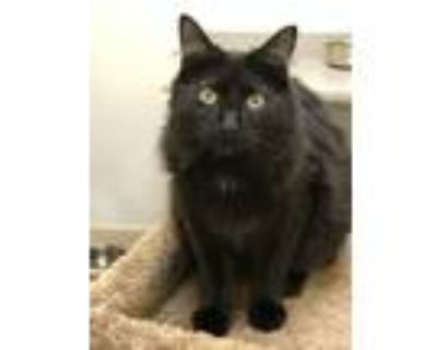 Adopt Max (kitten-must go with Poppy) a Maine Coon