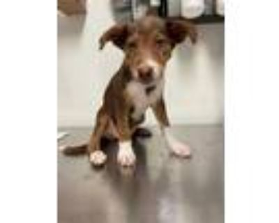 Adopt a Brown/Chocolate - with White Border Collie / Mixed dog in Bakersfield