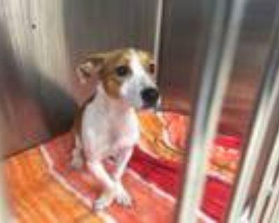 Adopt SQUISH a Dachshund, Basset Hound