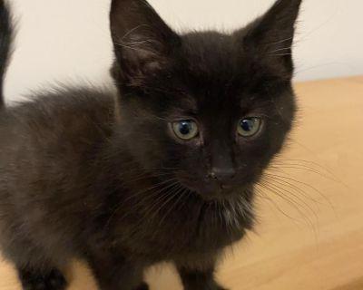 Mystic - Domestic Shorthair - Kitten Female