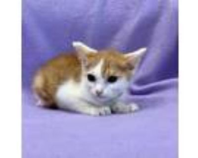 Adopt Moth a White Domestic Shorthair / Domestic Shorthair / Mixed cat in West
