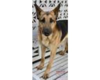 Adopt Gander a Black - with Tan, Yellow or Fawn German Shepherd Dog / Mixed dog