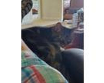 Adopt Uncle Louie a Black (Mostly) American Shorthair / Mixed (short coat) cat