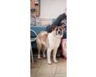 Adopt Havana a Brindle - with White Akita / Mixed dog in Leesburg, VA (31292175)