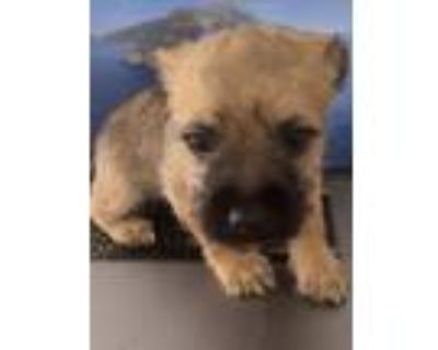 Adopt Rascal a Brown/Chocolate - with Black Shih Tzu / Wirehaired Fox Terrier /