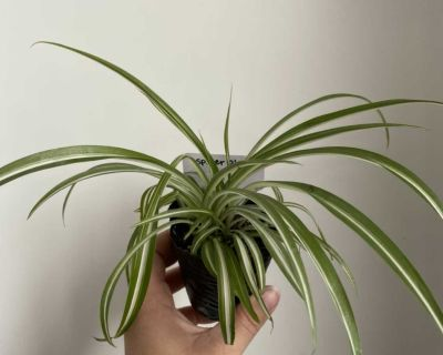 Spider plant - multiple available