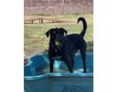 Adopt Duke a Retriever, Labrador Retriever