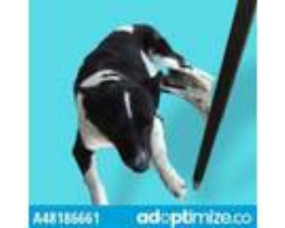 Adopt 48186661 a Border Collie, Mixed Breed