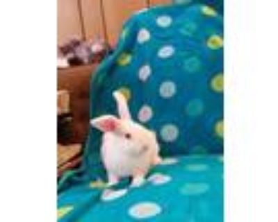 Adopt ROOTMAN a White Blanc de Hotot / Mixed rabbit in Albuquerque