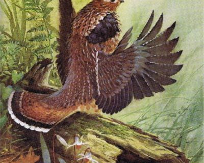 Ruffled Grouse Litho - Artist, James R. Smith - 1979 - Unframed