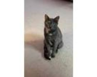 Adopt Leah a Gray or Blue Domestic Shorthair / Domestic Shorthair / Mixed cat in