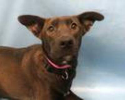 Adopt Summer a Black Labrador Retriever / Mixed dog in Coon Rapids