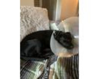 Adopt Lola a Black - with White Labrador Retriever / Mixed dog in San Antonio