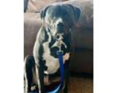 Adopt Tyson a Labrador Retriever, Staffordshire Bull Terrier