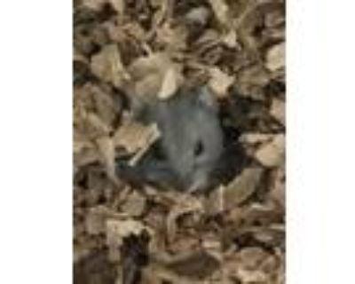 Adopt Turnip a Dwarf Hamster