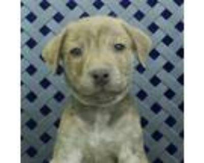 Adopt Champ a Retriever, Labrador Retriever