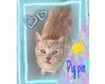 Adopt Pig Pin a Orange or Red Tabby Domestic Shorthair (short coat) cat in