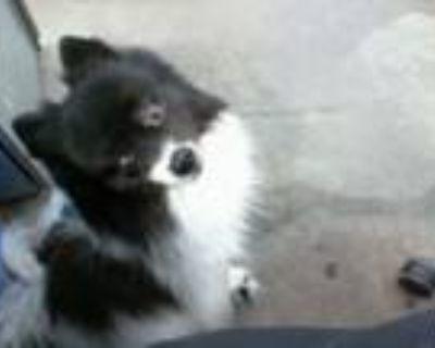 Adopt STRAY a Pomeranian, Mixed Breed