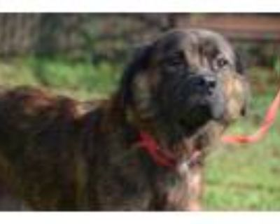 Adopt Furry a Brindle Shepherd (Unknown Type) / Mixed dog in Gainesville