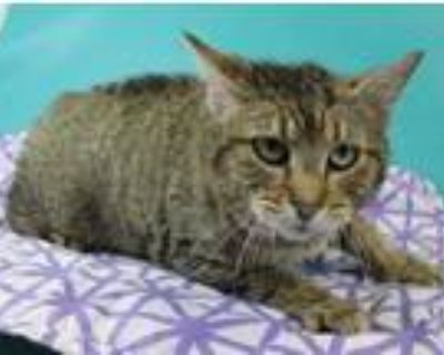 Adopt Molly a Brown or Chocolate Manx / Domestic Shorthair / Mixed cat in Morton