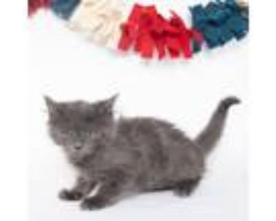 Adopt Bobble a Gray or Blue Russian Blue / Domestic Shorthair / Mixed cat in