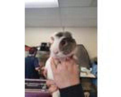 Adopt Ozzy a Guinea Pig